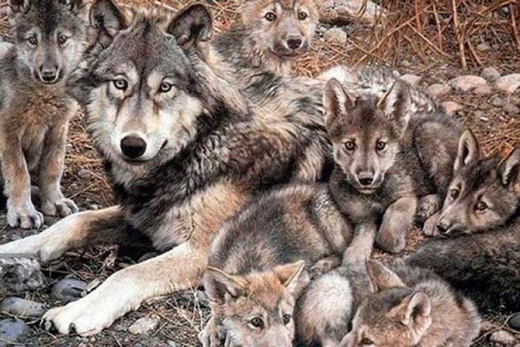 Lobo gris mexicano vivirá por muchos años más