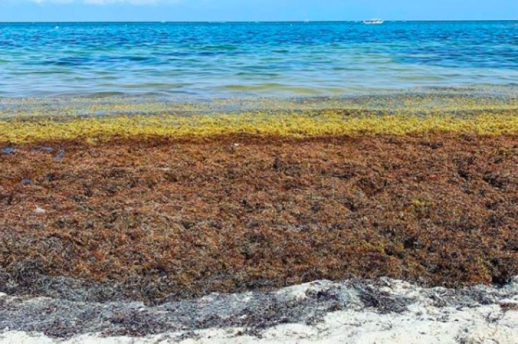 Advierten especialistas que el Mar Caribe está en riesgo por el sargazo