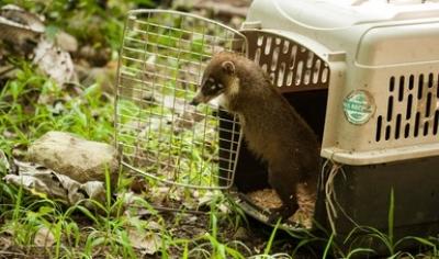 Reintegran a su hábitat tres tejones en Colima.