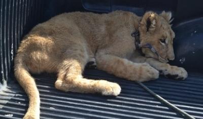 Reciben de manera voluntaria a cachorro de león en Colima.
