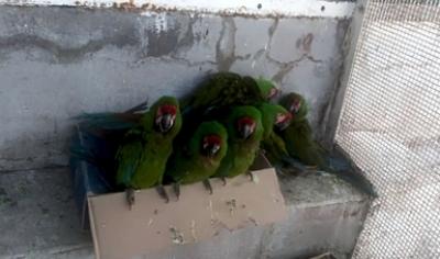 Identifican 28 Guacamayas Verdes en Sinaloa.
