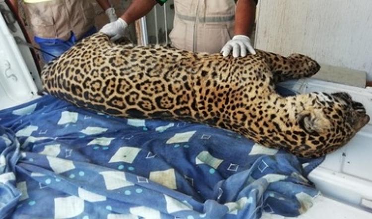 Localizan cuerpo de jaguar cazado en Veracruz.