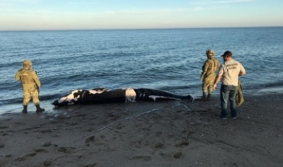 Atienden hallazgo de cría de ballena rorcual tropical en Baja California.