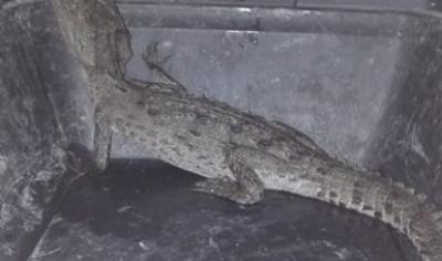 Rescatan cocodrilo de pantano y aguililla de hombros rojos en Nuevo León.