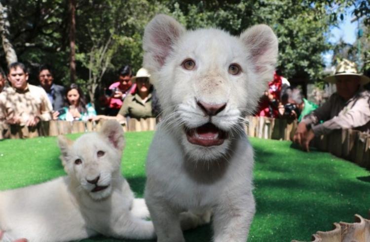 Presentan 2 cachorros de león blanco en Tlaxcala