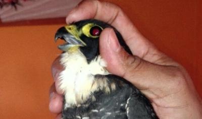 Rescatan halcón murcielaguero en Chiapas.