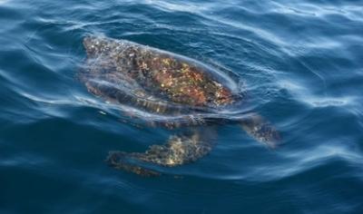 Concluye PROFEPA que reciente marea roja provocó muerte de 292 tortugas marinas