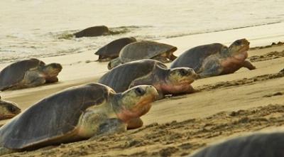 Casi 800 mil tortugas que desovan son protegidas en playas de Oaxaca