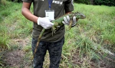 Liberan en su hábitat a dos iguanas verdes en Colima.